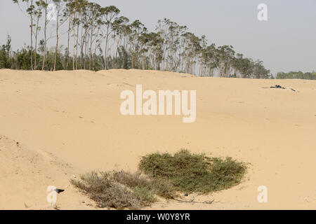 EGYPT, Ismallia , Sarapium forest in the desert, the trees are irrigated by treated sewage water from Ismalia / AEGYPTEN, Ismailia, Sarapium Forstprojekt in der Wueste, die Baeume werden mit geklaertem Abwasser der Stadt Ismalia bewaessert - Stock Photo
