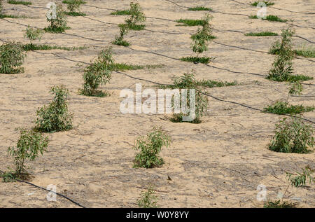 EGYPT, Ismallia , Sarapium forest in the desert, the trees are irrigated by treated sewage water from Ismailia, young eucalyptus trees with drip irrigation - Stock Photo