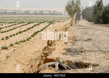 EGYPT, Ismallia , Sarapium forest in the desert, the trees are irrigated by treated sewage water from Ismalia, left desert farm with onions, erosion protection - Stock Photo