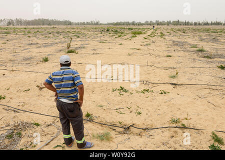 EGYPT, Ismallia , Sarapium forest in the desert, the trees are irrigated by treated sewage water from Ismalia, new cypress plantation with drip irrigation - Stock Photo