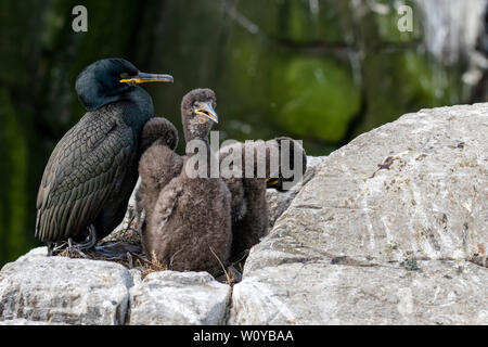 UK, Farne Islands, June 2019: A shag rearing its young on the cliffs by the ocean - Stock Photo