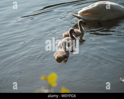 Three Cygnets follow the mother Swan on the water. - Stock Photo