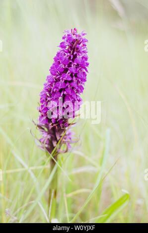 Wild Pyramidal Orchid flower - Stock Photo