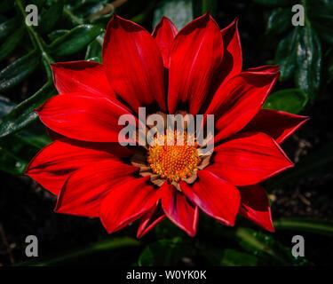 Beautiful red gazania flower - Stock Photo