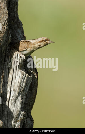 Eurasian wryneck, Latin name Jynx torquilla, looking out of its nest hole. It is a species of wryneck in the woodpecker family.  It is a bird of open - Stock Photo