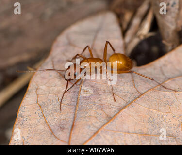 Large brown Camponotus ant crawling on leaf in forest - Stock Photo