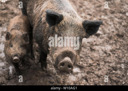 dirty boars on a farm outside. Mom and little baby boar in the mud. Pigs in brown land - Stock Photo