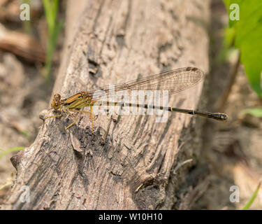 Variable Dancer Damselfly sitting on a log - Stock Photo