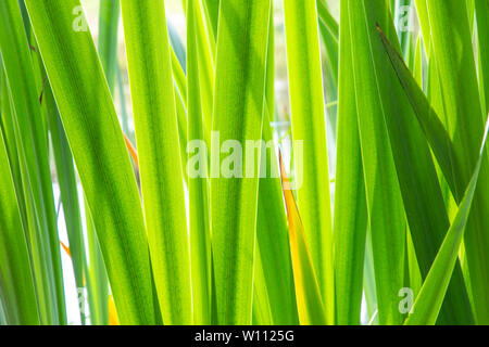 Texture background with green leaves of a yellow iris growing in a little Dutch fen or lake in the Netherlands - Stock Photo