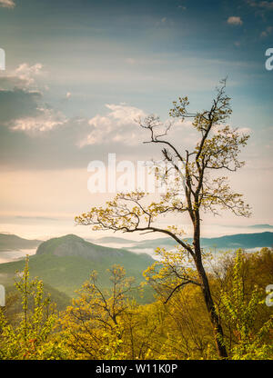 Beautiful blooming spring tree budding in early morning after sunrise along the Blue Ridge Parkway showing Looking Glass Rock in the background. - Stock Photo