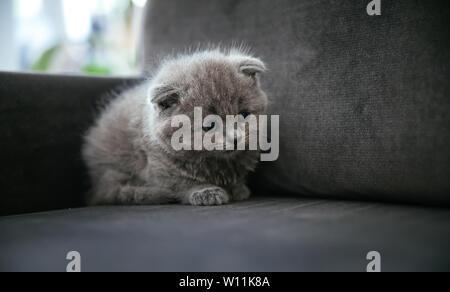 Baby scottish fold gray kitten. Portrait of a Cute, beautiful, sweet and fluffy grey scottish fold cat. - Stock Photo