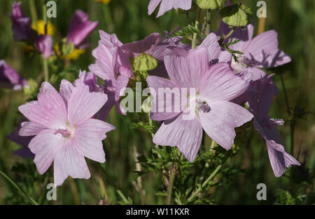 Pink Malva alcea flowers (greater musk-mallow, cut-leaved mallow, vervain mallow or hollyhock mallow) - Stock Photo