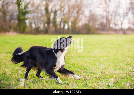 Playful full length purebred border collie dog funny face expression playing outdoors in the city park. Adorable attentive puppy ready to catch the fl - Stock Photo