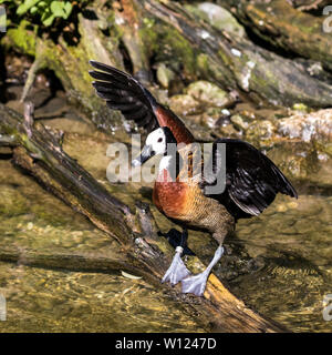 captive White faced Whistling Duck native to Africa