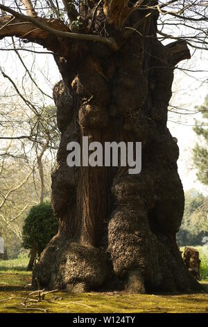Ancient Sweet Chestnut trees, Castanea sativa, borders the woodland path at Warley Place Nature Reserve, near Brentwood, Essex, UK. - Stock Photo