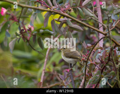 Willow Warbler, Phylloscopus trochilus, single juvenile perched in bush. Worcestershire, UK. - Stock Photo