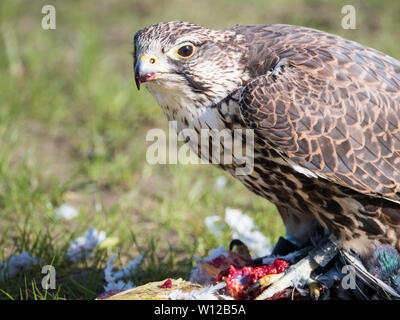 Close-up of a Lanner falcon and his pigeon prey - Stock Photo