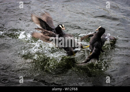 Three coots fighting in the water with the two acting as a team beating the single one - Stock Photo