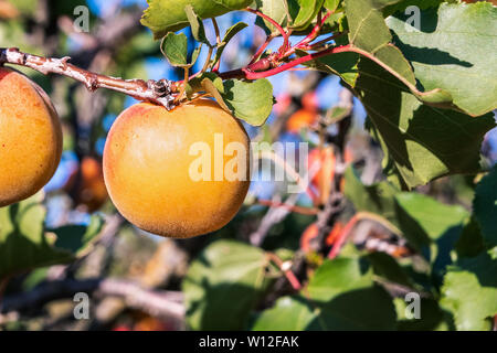 Close up of ripe Blenheim apricots on a branch in an orchard in Santa Clara valley, south San Francisco bay area, California - Stock Photo