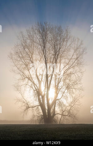 Sunrise and E Cottonwood tree (Populus deltoides) shrouded in fog, early May, E USA, by Dominique Braud/Dembinsky Photo Assoc - Stock Photo