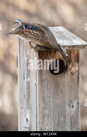Wood Ducks (Aix sponsa) and Wood Duck nesting box, E North America, by Dominique Braud/Dembinsky Photo Assoc - Stock Photo