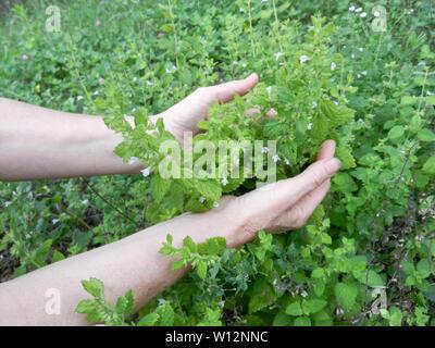 Detail of garden herbs, lemon balm or botanical name Melissa medicinal. Harvesting herbs. - Stock Photo