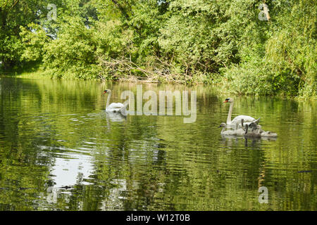 Swan family swimming in lake surrounded by green trees and bushes. Green foliage reflection on water. - Stock Photo
