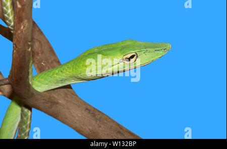 Long-nosed whip snake (Ahaetulla nasuta) on a blue background