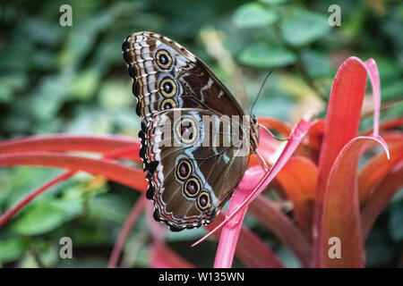 Morpho peleides, the Peleides blue morpho, common morpho[1] or the emperor[2][3] is an iridescent tropical butterfly found in Mexico, Central America, - Stock Photo