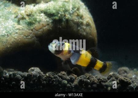 Bumblebee goby (Brachygobius sabanus) - Stock Photo