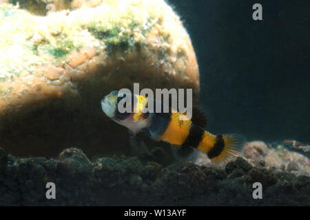 Bumblebee goby (Brachygobius sabanus) - Stock Photo