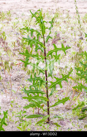 Green Lactuca Serriola, also called prickly lettuce, milk thistle, compass plant and scarole, growing in the sand - Stock Photo