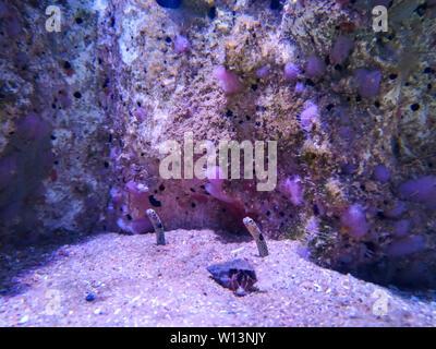 Spotted garden-eel Heteroconger hassi in aquarium de La Rochelle, France - Stock Photo