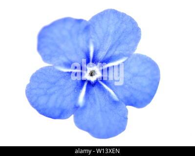 Closeup on single Blue-eyed Mary Omphalodes verna flower on white background - Stock Photo