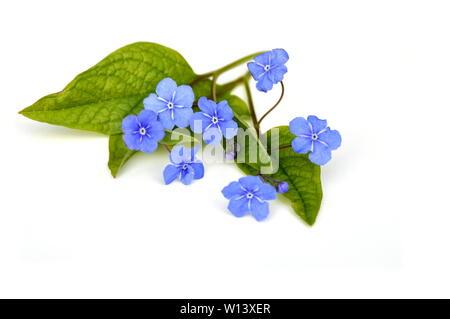 Blue-eyed Mary Omphalodes verna flower on white background - Stock Photo