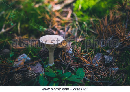 Trooping funnel or monk's head mushroom on the grass - Stock Photo