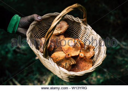 Man hand holding basket with picked bloody milk cap mushrooms - Stock Photo