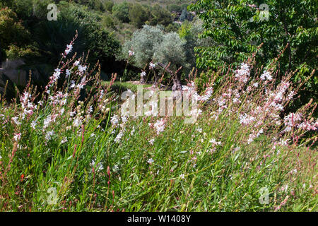 Gaura in a vibrant garden in the south of France on the Cote d'Azur between Monaco and Nice near Eze - Stock Photo