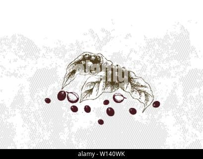 Illustration Hand Drawn Sketch of Ripe Coffee Beans on Leaves and The Branch. - Stock Photo