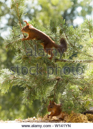 red squirrels are climbing in pine branches - Stock Photo