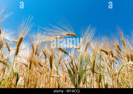 Horizontal view of golden ears of wheat under a bright blue cloudless sky ready for being harvested - Stock Photo