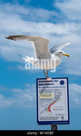 Lyme Regis, Dorset, UK. 30th June 2019. UK Weather: Warm sunny spells  and a refreshing breeze at the seaside resort of Lyme Regis.  A seagull lands on one of the the information signs along the seafront. Credit: Celia McMahon/Alamy Live News. - Stock Photo