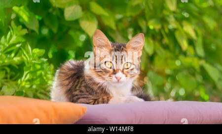Cute young cat, brown tabby with white, kitten resting lazy on a pillow in front of green bushes, watching curiously with yellow eyes, Rhodes, Greece - Stock Photo