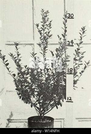 Archive image from page 22 of Descriptive illustrative price list . Descriptive illustrative price list : fall 1962 spring 1963 . descriptiveillus1962jvan Year: 1962  Ligustrum lucidum    Ilex rotundifolia - Stock Photo