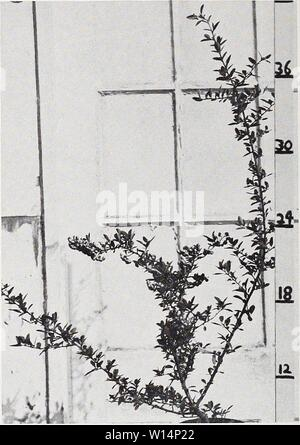 Archive image from page 23 of Descriptive illustrative price list . Descriptive illustrative price list : fall 1962 spring 1963 . descriptiveillus1962jvan Year: 1962  Pyracantha lalandi 1 gal. can - Stock Photo