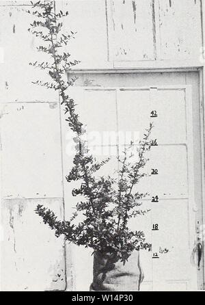 Archive image from page 23 of Descriptive illustrative price list . Descriptive illustrative price list : fall 1962 spring 1963 . descriptiveillus1962jvan Year: 1962  Pyracantha lalandi 1 gal. can    Pyracantha lalandi 4 gal. can - Stock Photo
