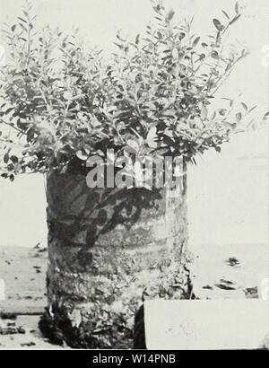 Archive image from page 24 of Descriptive illustrative price list . Descriptive illustrative price list : fall 1962 spring 1963 . descriptiveillus1962jvan Year: 1962  Ilex crenata hetzi 1 gal. can    Ilex helleri - 1 gal. can - Stock Photo
