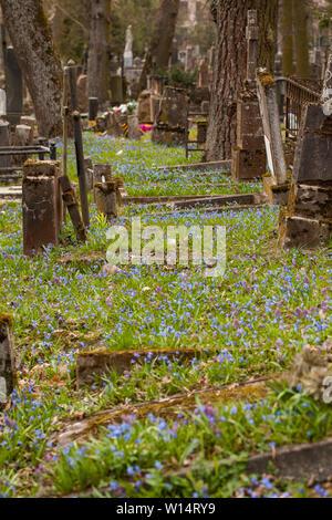 Vilnius,Užupis/Lithuania-April,11,2019: Impressive bloom of Scilla siberica in one oldest 19c. Bernardinai cemetery in Vilnius. Scilla is earliest pla - Stock Photo