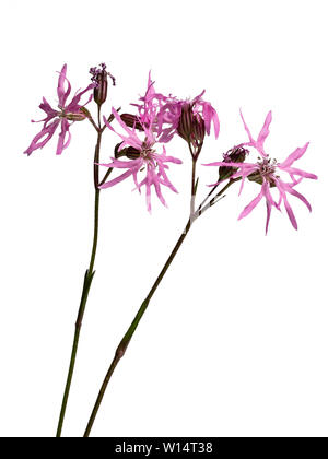 Ragged pink flowers of the UK wild and bog garden flower, Lychnis flos-cuculi, ragged robin, on a white background - Stock Photo