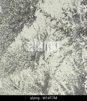 Archive image from page 26 of Descriptive illustrative price list . Descriptive illustrative price list : fall 1962 spring 1963 . descriptiveillus1962jvan Year: 1962  23    Typical field of Ligustrum lucidum 7500 in this block - Stock Photo